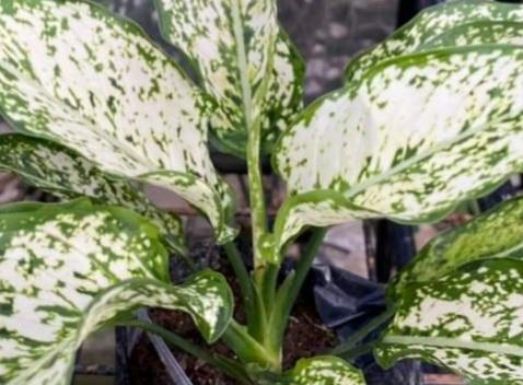 Aglaonema Phet Nam Plant, 8 Inches up (per piece) Homegrown: Fresh Food, Groceries, Plants and More!