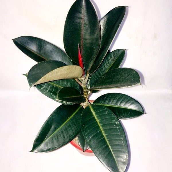 PROMO: FREE PLANT SPRAY! Rubber Tree, Black Prince, 10 Inches up (per piece) Homegrown: Fresh Food, Groceries, Plants and More!