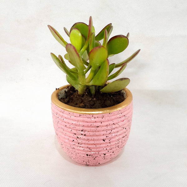 Valentine Sale,Jade Succulent,Pink Pot,2 Inches up (per piece) Homegrown: Fresh Food, Groceries, Plants and More!