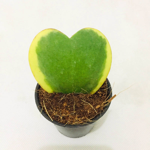 Valentine Special,Heart Succulent Plant, 1.5 Inches up (per piece) Homegrown: Fresh Food, Groceries, Plants and More!