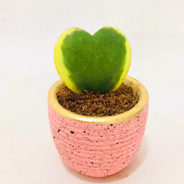 Valentine Sale,Heart Succulent Plant, Pink Ceramic,1.5 Inches up,Ready for Gifting (per piece) Homegrown: Fresh Food, Groceries, Plants and More!