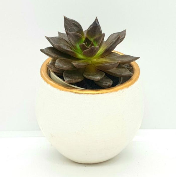 Purple Prince Succulent Plant, White or Red Ceramic 1.5 Inches up (per plant) Homegrown: Fresh Food, Groceries, Plants and More!