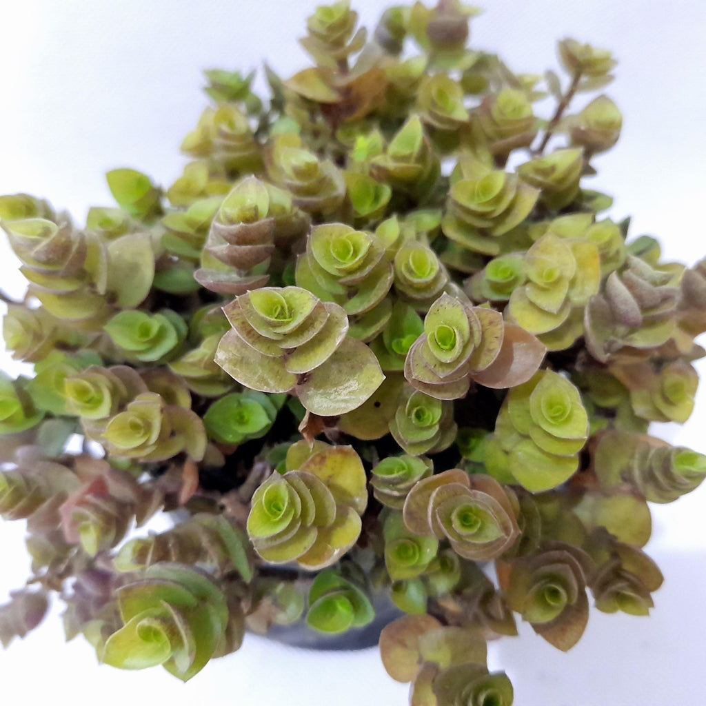 Turtle Vine Succulent, Indoor, Easy Care,1.5 Inches up (per piece) Homegrown: Fresh Food, Groceries, Plants and More!