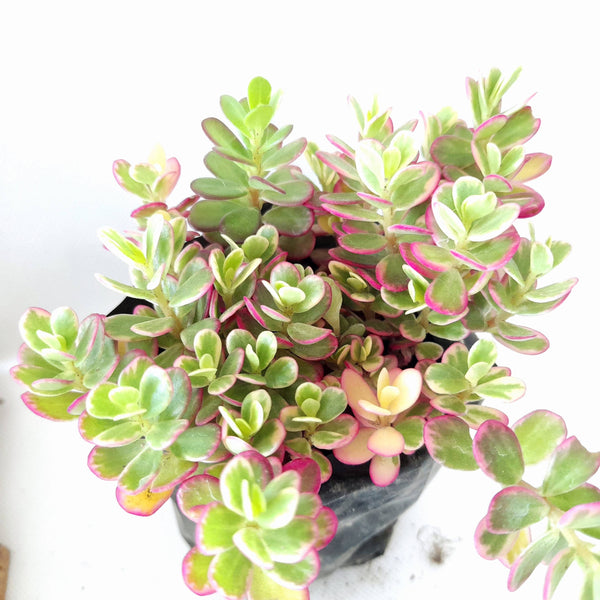 Tricolor Succulent Plant, 1.5 Inches Up (per plant) Homegrown: Fresh Food, Groceries, Plants and More!