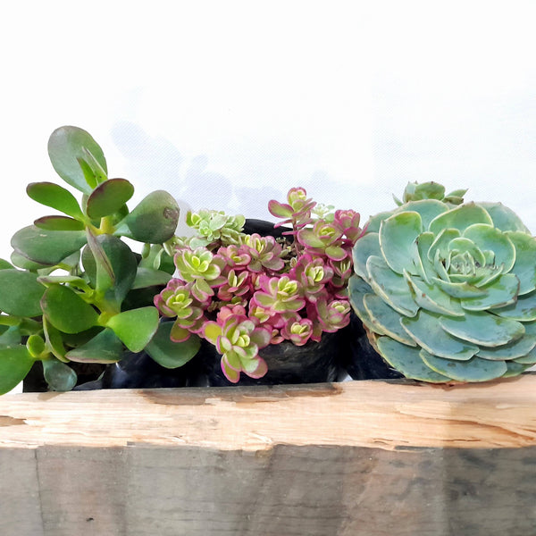 PROMO: SUCCULENT TRIO, Included:Jade,Tricolor,Echeveria,In Seedling Bag (Total 3pcs) Homegrown: Fresh Food, Groceries, Plants and More!