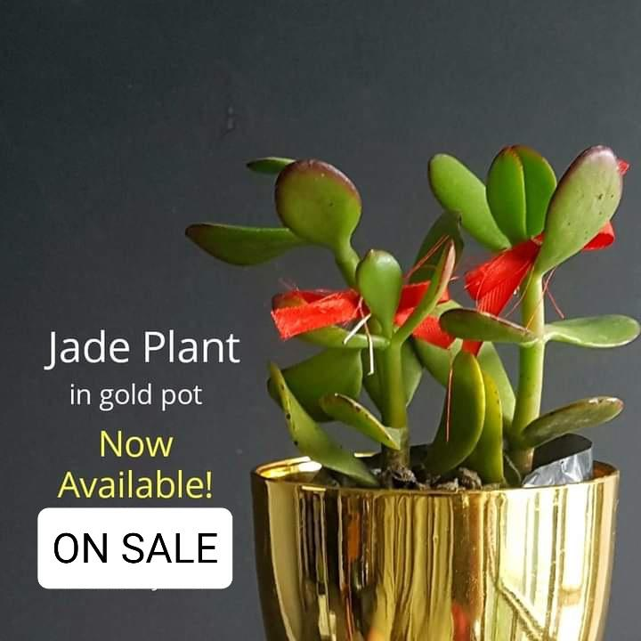 Jade Succulent Plant,Gold Plastic,2 Inches up (per plant) Homegrown: Fresh Food, Groceries, Plants and More!