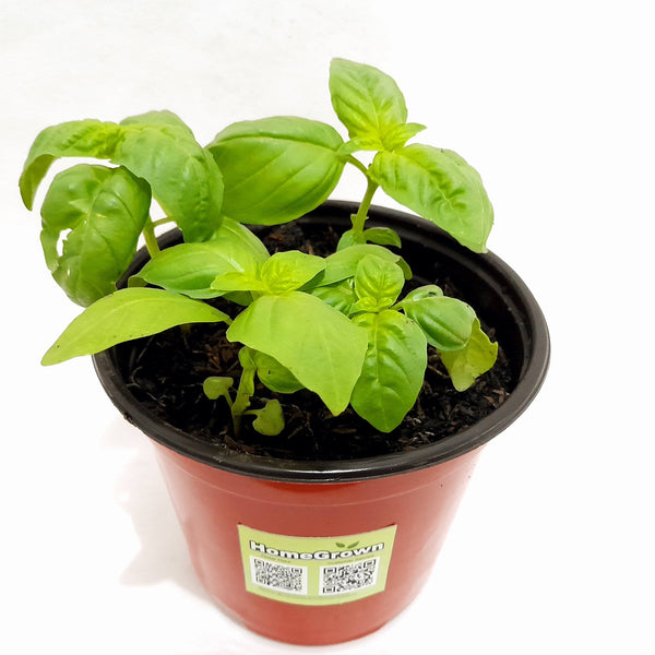 Sweet Basil Plant,3 Inches up,Potted (per plant) Homegrown: Fresh Food, Groceries, Plants and More!