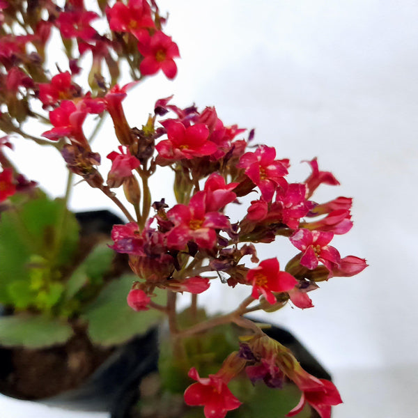 Red Kalanchoe Succulent Plant, 3 Inches up (per plant) Homegrown: Fresh Food, Groceries, Plants and More!