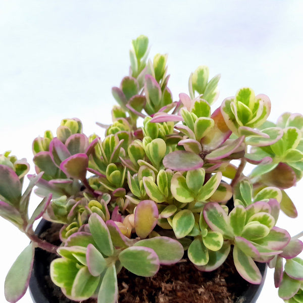 Tricolor Succulent,Potted, 1.5 Inches up (per plant) Homegrown: Fresh Food, Groceries, Plants and More!