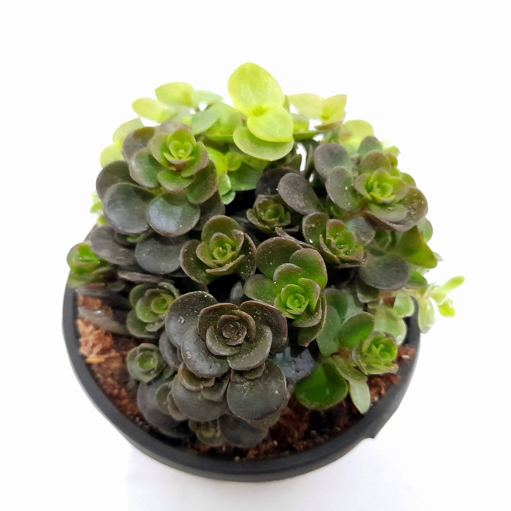 SALE! Tornado Succulent Plant,Indoor, 1.5 Inches (per plant) Homegrown: Fresh Food, Groceries, Plants and More!