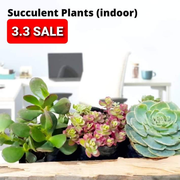 3.3 SALE! Set of 3 Succulents,Potted,1.5 Inches,Jade,Tricolor,Echeveria (Total of 3) Homegrown: Fresh Food, Groceries, Plants and More!