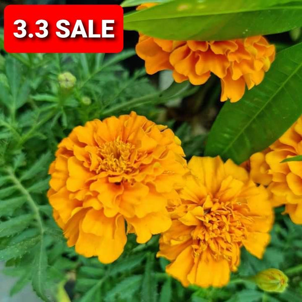 3.3 SALE! 3pcs Marigold Plant,3 Inches up (Total 3pcs) Homegrown: Fresh Food, Groceries, Plants and More!