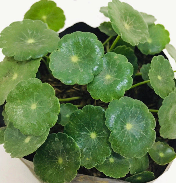 Pennywort Plant, 2inches up height (per plant) Homegrown: Fresh Food, Groceries, Plants and More!