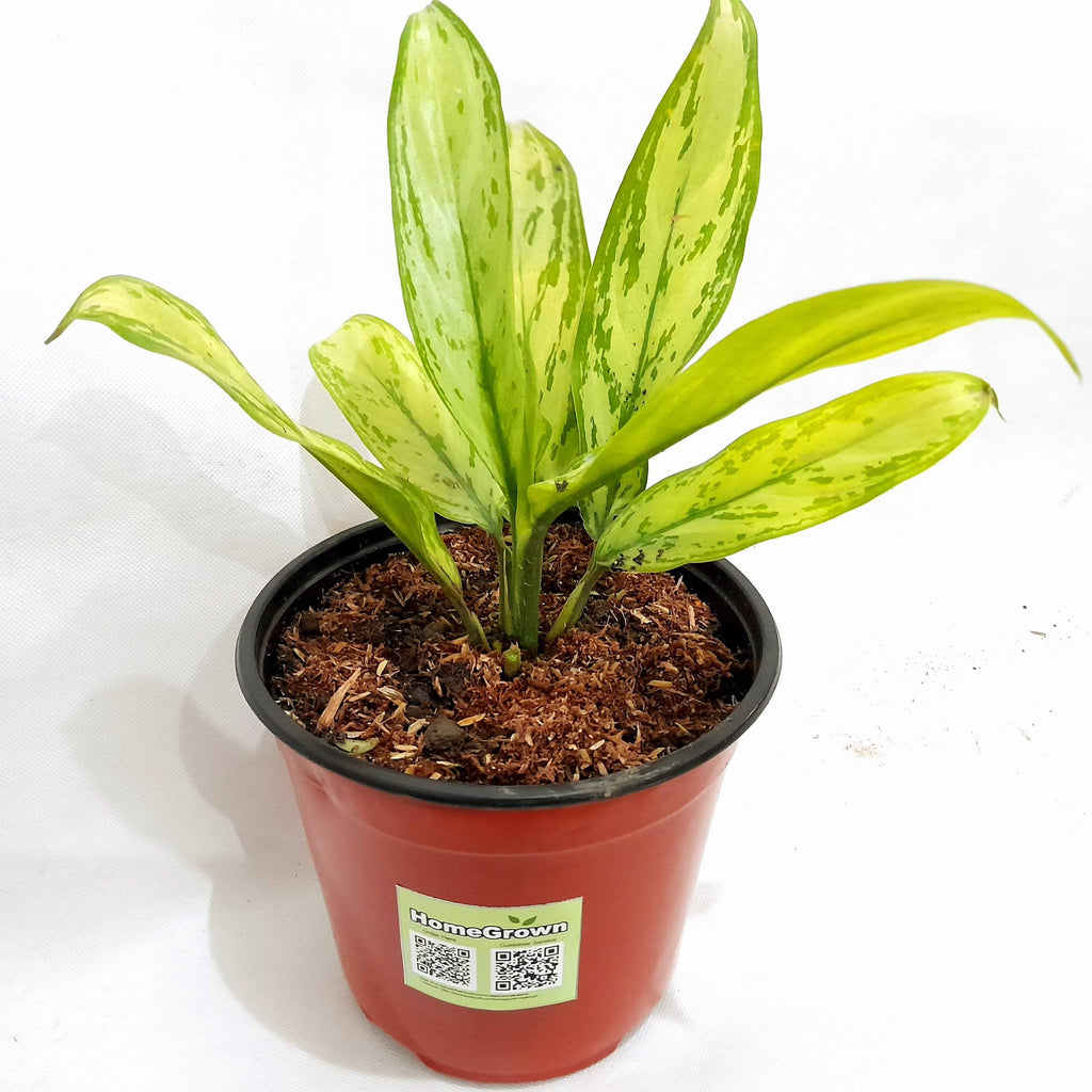 Silver Queen Aglaonema Plant, Potted, 3 Inches up (per piece) Homegrown: Fresh Food, Groceries, Plants and More!