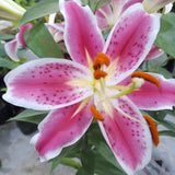 Pink Stargazer Lily Plant with Flowers,8 Inches up (per plant) Homegrown: Fresh Food, Groceries, Plants and More!