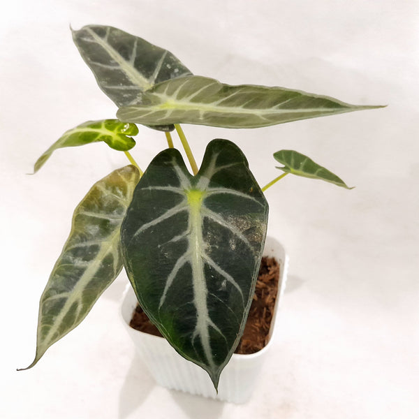 PROMO: FREE PLANT SPRAY. Rare Alocasia Bambino,6 Inches up (per piece) Homegrown: Fresh Food, Groceries, Plants and More!