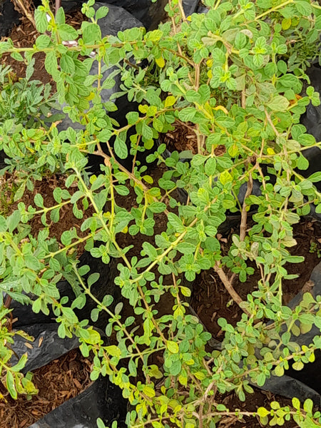 Italian Oregano Herb Plant.Perfect for Pasta,Meatball (Per Piece) Homegrown Organics (The Home of Purple Corn) : No Minimum Order