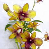 PROMO: FREE PLANT SPRAY. Orchids, Dendrobium with Yellow Flowers (per pot) Homegrown: Fresh Food, Groceries, Plants and More!