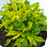 3.3 SALE! Yellow Parrot Leaf Plant, 2 Inches up (per plant) Homegrown: Fresh Food, Groceries, Plants and More!