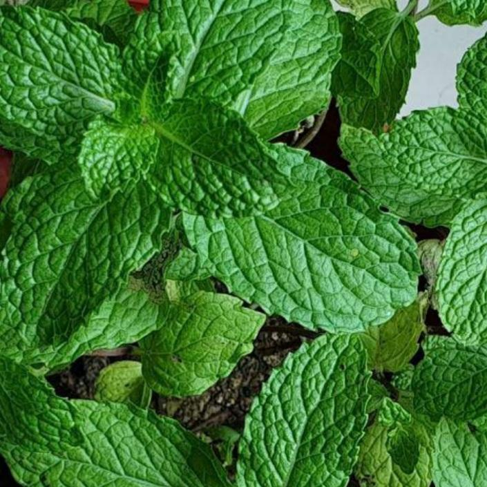 SALE! Mint Herb Plant (Per Plant) Homegrown Door-to-Door Fresh from the Farm Delivery