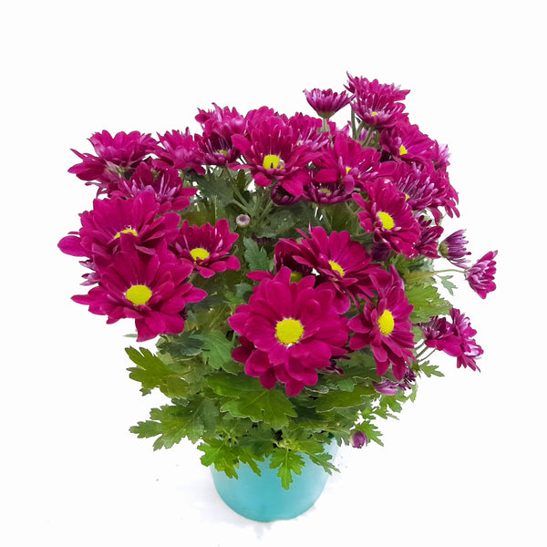 PROMO: FREE PLANT SPRAY! Purple Mums Plant,Potted, 5 Inches up (per plant) Homegrown: Fresh Food, Groceries, Plants and More!