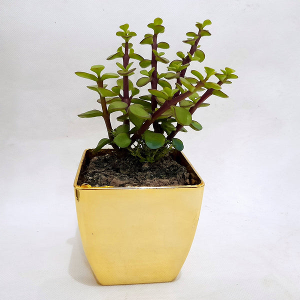 Green Jadelet Succulent Plant,Indoor,In Gold Plastic Pot,1.5 Inches up (per plant) Homegrown: Fresh Food, Groceries, Plants and More!