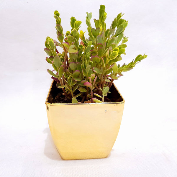 Tri Color Succulent Plant,Indoor,In Gold Plastic Pot,1.5 Inches up (per plant) Homegrown: Fresh Food, Groceries, Plants and More!