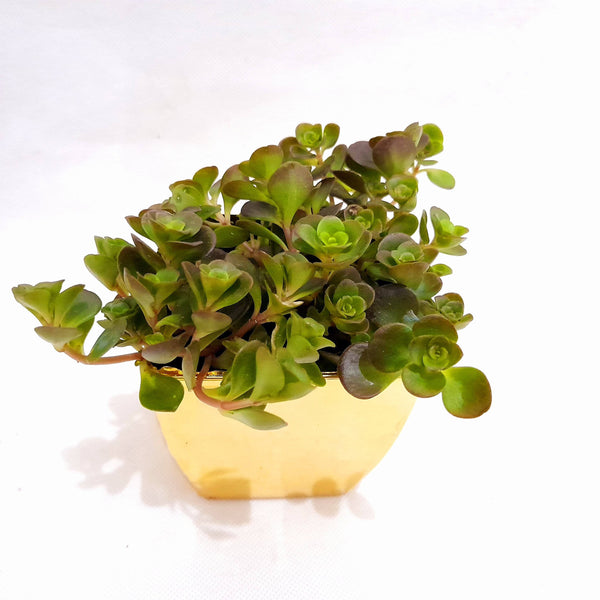 Tornado Succulent Plant,Indoor,In Gold Plastic Pot,1.5 Inches up (per plant) Homegrown: Fresh Food, Groceries, Plants and More!