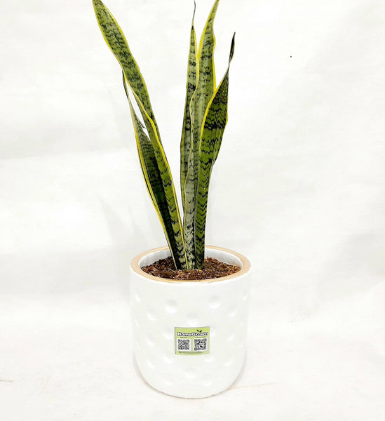 Premium Snake Plant in Clay Pot,White, Pot Diameter 7 Inches x 8 Inches Height (per plant) Homegrown: Fresh Food, Groceries, Plants and More!