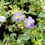Anastasia Flowering Plant,3 Inches up (per plant) Homegrown: Fresh Food, Groceries, Plants and More!