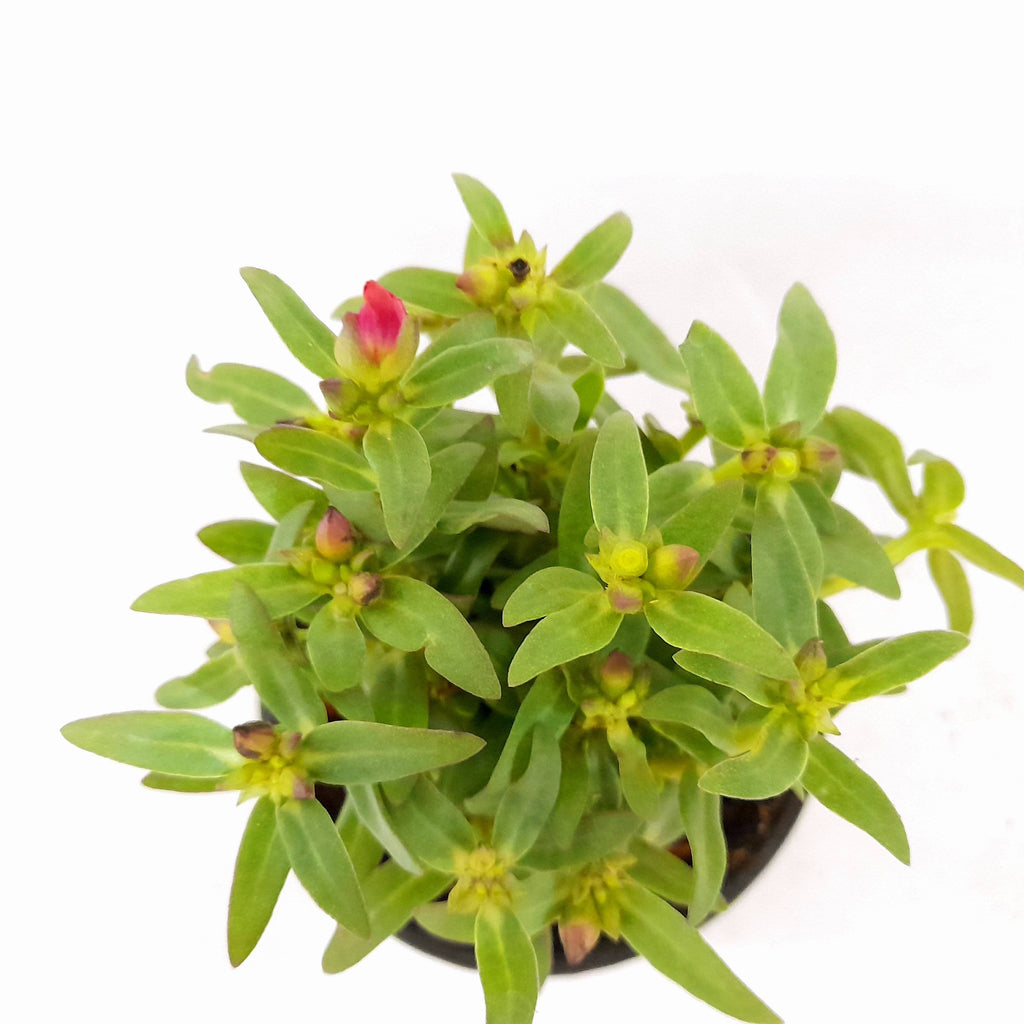 SALE! Grandiflora Purslane Plant, No Flowers Yet, Potted,2 inches up (per plant) Homegrown: Fresh Food, Groceries, Plants and More!