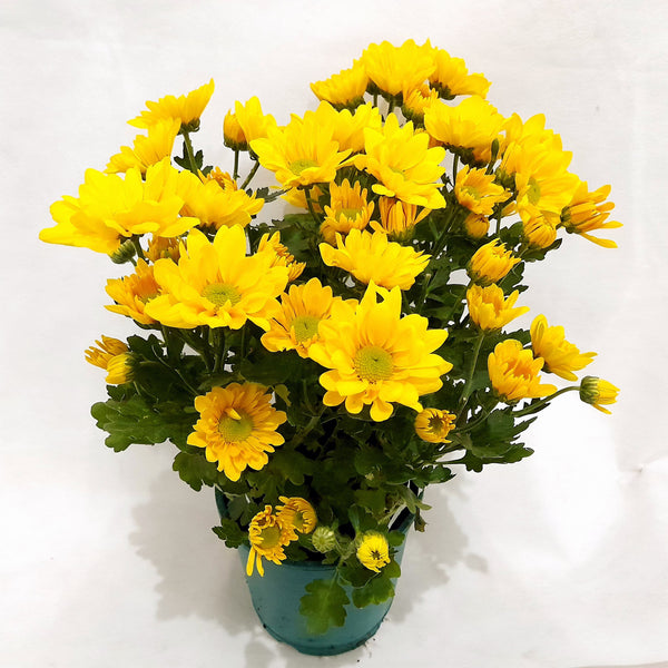 PROMO: FREE PLANT SPRAY! Yellow Mums Plant,Potted, 8 Inches up (per plant) Homegrown: Fresh Food, Groceries, Plants and More!