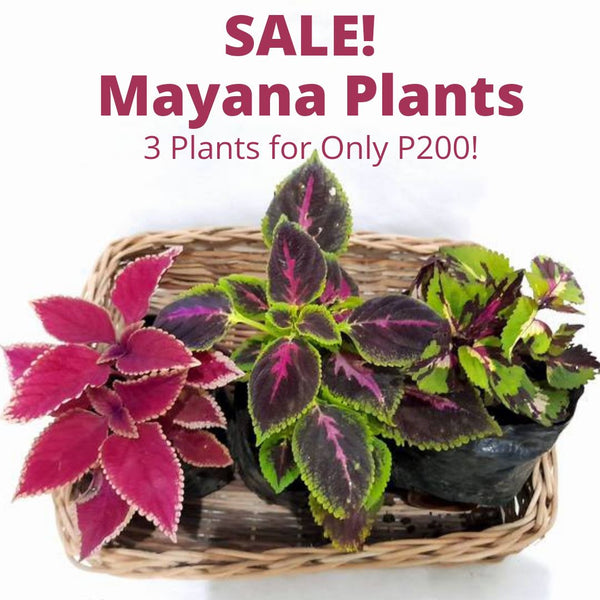 Sale! Mayana Set of 3,Assorted Colors&Varieties,3 Inches up,Tray not Included (total 3 plants) Homegrown: Fresh Food, Groceries, Plants and More!