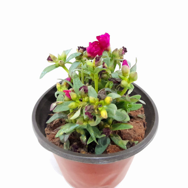 Vietnam Rose Plant,Class B Condition, live, pre-rooting. Potted, Color may vary, Click for details (per plant) Homegrown: Fresh Food, Groceries, Plants and More!