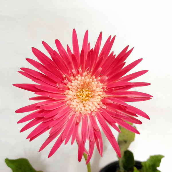 Flowering Daisy Plant, Pink, Potted, 4 Inches up (per piece) Homegrown: Fresh Food, Groceries, Plants and More!