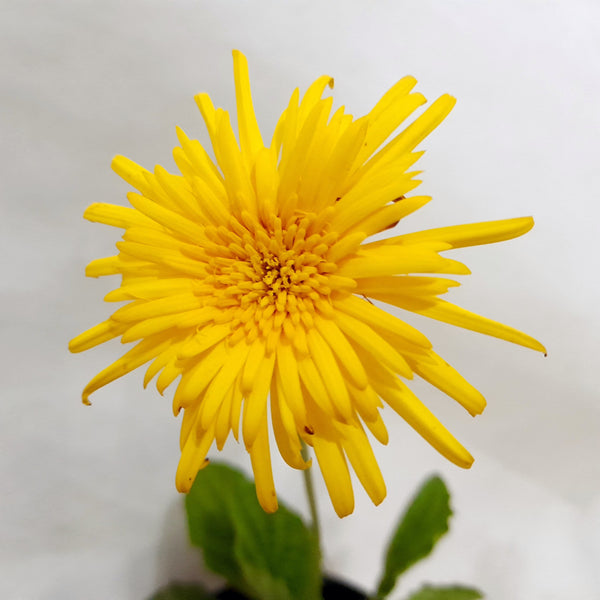 Flowering Daisy Plant,Yellow or Orange, Potted, 4 Inches up (per piece) Homegrown: Fresh Food, Groceries, Plants and More!