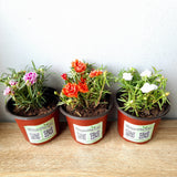 Sale! Grandiflora Flowering Plant Set of 3,Assorted Colors, Pre-rooting, 2inches up, Potted, Click for details (total 3 plants) Homegrown: Fresh Food, Groceries, Plants and More!
