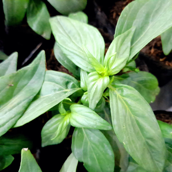 P95 PLANT SALE! Serpentina Herbal Plant, 3 Inches up (per plant) Homegrown: Fresh Food, Groceries, Plants and More!