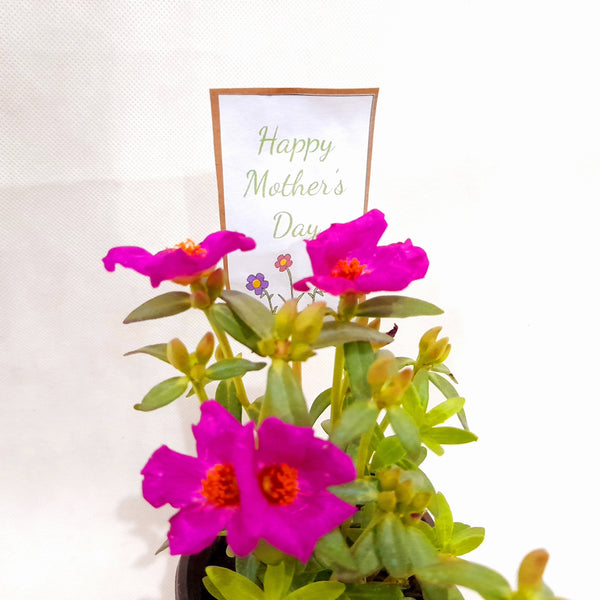 Mother's Day Gift Set 4, Small Vietnam Rose Plant, 2 Inches up,Color may Vary (per set) Homegrown: Fresh Food, Groceries, Plants and More!