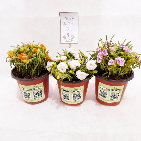 Mother's Day Gift Set 3, Grandiflora Set of 3, 2 Inches up, Color may Vary (per set) Homegrown: Fresh Food, Groceries, Plants and More!