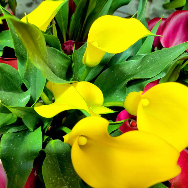PROMO: FREE PLANT SPRAY! Yellow Calla Lily Plant,8 inches up (per plant) Homegrown: Fresh Food, Groceries, Plants and More!