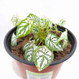 Dwarf White Caladium, Potted, 2 Inches up (per plant) Homegrown: Fresh Food, Groceries, Plants and More!