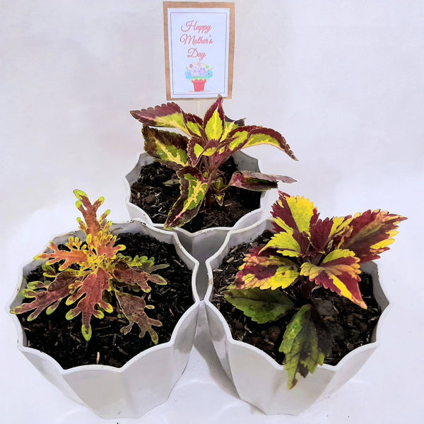 Mother's Day Promo:Mayana Set of 3, Assorted, Decorative Pot, 2 Inches up (total 3 plants) Homegrown: Fresh Food, Groceries, Plants and More!