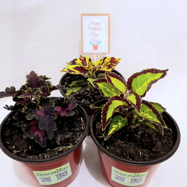 Mother's Day Promo: Mayana Set of 3, Assorted, Flexi Pot, 2 Inches up (total 3 plants) Homegrown: Fresh Food, Groceries, Plants and More!