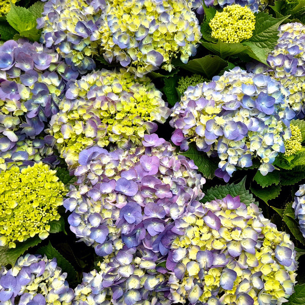 PROMO:FREE PLANT SPRAY! Hydrangea Plant, Milflores, 5 Inches up (per plant) Homegrown: Fresh Food, Groceries, Plants and More!