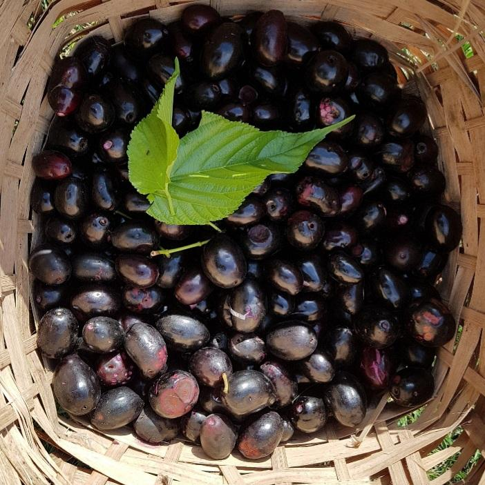 Duhat! Java Plum (Per 200g) Homegrown: Fresh Food, Groceries, Plants and More!