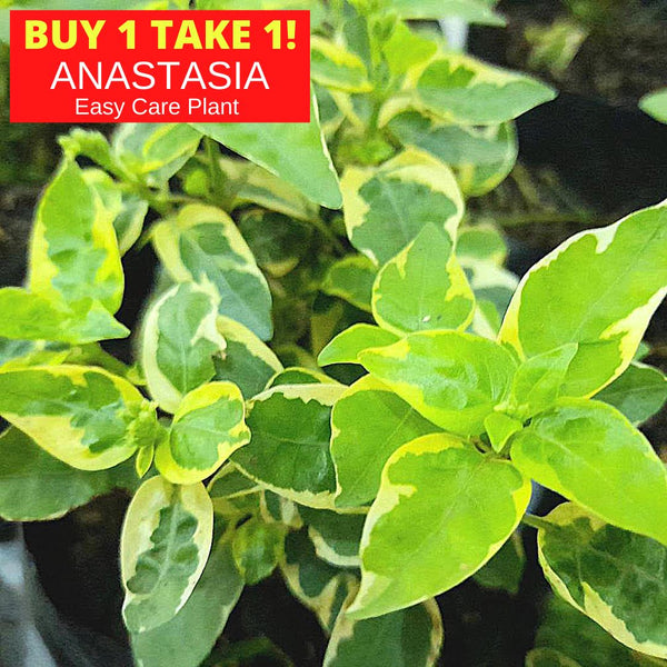 Buy 1 Take 1 Anastasia Plant,Easy Care, 3 Inches up (total 2 plants) Homegrown: Fresh Food, Groceries, Plants and More!