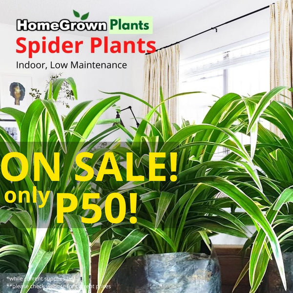 Christmas SALE! Spider Plants (per plant) Homegrown: Fresh Food, Groceries, Plants and More!