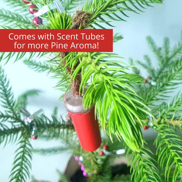 SAVE P55! Real, Live, Scented Christmas Tree - Norfolk Pine (indoor), – Homegrown: Fresh Food ...