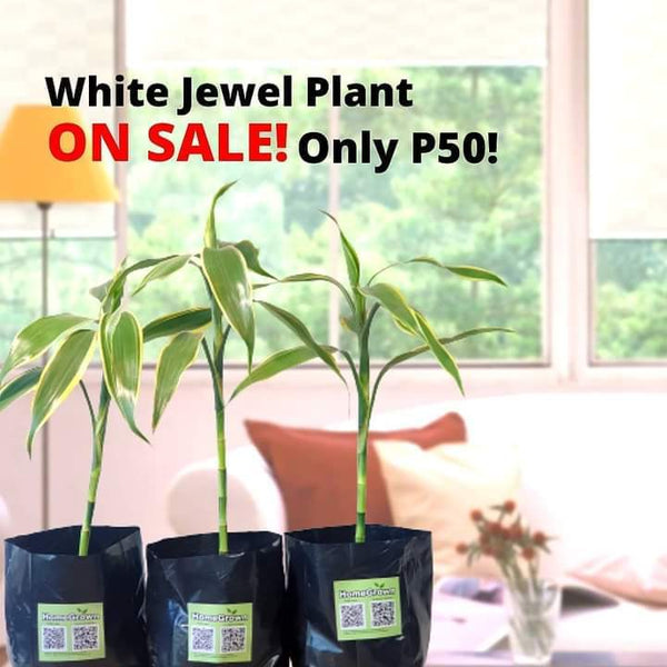 SALE! White Jewel Plant, 4 Inches up, Long Stem(per plant) Homegrown: Fresh Food, Groceries, Plants and More!